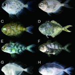 Nomeid fishes (Perciformes) from Kagoshima Prefecture, southern Kyushu, Japan (Roxanne A. Cabebe and Hiroyuki Motomura)