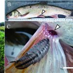 The marine fish parasite Nerocila japonica (Isopoda: Cymothoidae) from a euryhaline cyprinid fish (Pseudaspius hakonensis) in brackish waters of a river in central Japan (Kazuya Nagasawa and Nobuo Inoue)
