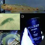 沖縄島の汽水域から発見された ヒメハゼ属魚類 2 種によるミステリーサークル(百瀬樹)