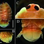北海道日本海沿岸域で漁獲された サヨリに寄生していたエラヌシ属等脚類(長澤和也)